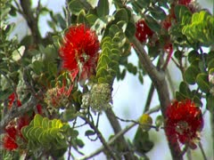 Lehua Blossoms Stock Footage