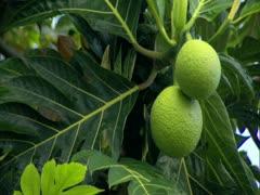 Breadfruit Stock Footage