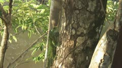 Suriname, Iguana in tree Stock Footage