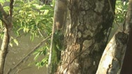 Stock Video Footage of Suriname, Iguana in tree