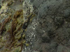 A'ama Crab Stock Footage