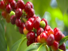 Coffee Cherry Stock Footage