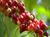 Stock Video Footage of Coffee Cherry