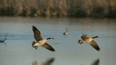 Geese In Altercation Stock Footage