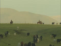 Paniolo and Cattle on Parker Ranch Stock Footage