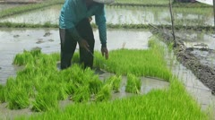 On rice field Stock Footage