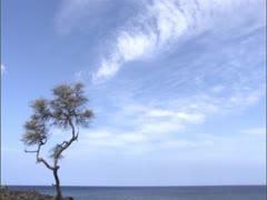 Keawe Tree at Shorline Stock Footage