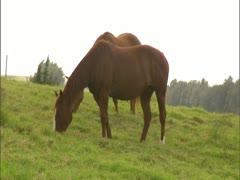 Horses Grazing at Kahua Ranch Hawaii Stock Footage