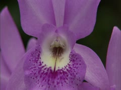 Purple Orchids - stock footage