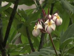Plumeria Flowers - stock footage