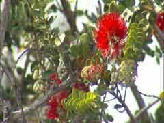 Ohia Lehua Blossoms Stock Footage