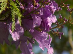 Jacaranda Blossoms Stock Footage