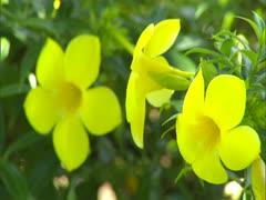Allamanda Flowers Stock Footage