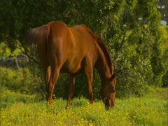 Horse Grazing in Pasture Stock Footage