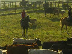 Stock Video Footage of Cowboys Herding Cattle