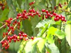 Kona Coffee Cherry Stock Footage