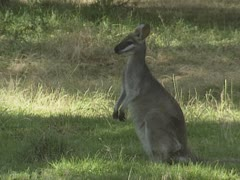 Pretty-faced Wallaby (Macropus parryi) sits + runs Stock Footage