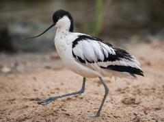 pied avocet: wader walking on sand - stock photo
