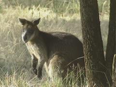 Swamp wallaby (wallabia bicolor) Stock Footage