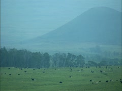 Cattle at Dawn Stock Footage