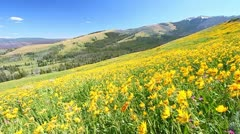 Wildflowers of Yellowstone National Park Stock Footage