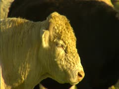 Bull in Corral Stock Footage