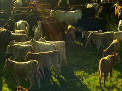 Cattle in Corral - stock footage