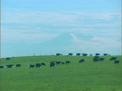 Cattle on Ranchland Stock Footage