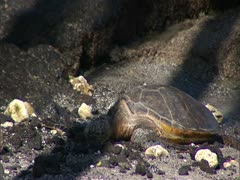 Green Sea Turtle Sleeping on Shore Stock Footage