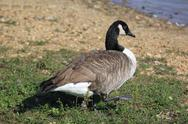 Stock Photo of wild geese