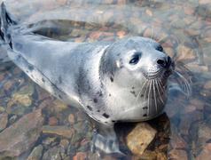 Harp seal  (pagophilus groenlandicus) Stock Photos