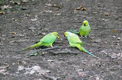 Collared parakeets quarrelling for an end of apple, forest of France Stock Photos