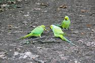 Stock Photo of Collared parakeets quarrelling for an end of apple, forest of France