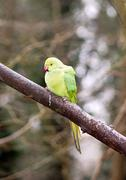 Collared parakeet, a forest of France Stock Photos