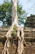 banyan rooting in angkor - stock photo