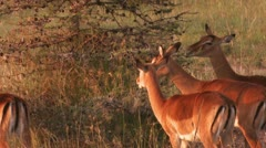 Impala eat from the tree Stock Footage