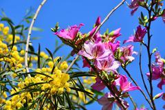 mimosa and bauhinia - stock photo