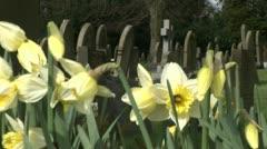 Daffodil in England Stock Footage