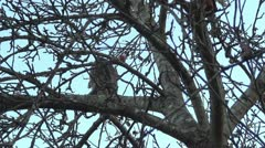 Feral Cat Jumps from Tree to Roof Stock Footage