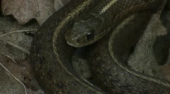 A black snake is coiled and ready to strike. Stock Footage