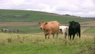 Stock Video Footage of Cows chewing the cud and suckling the milk