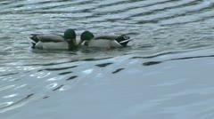Mallard ducks fighting with their beaks Stock Footage