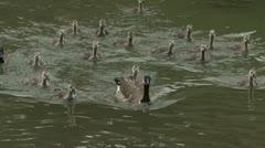 A flock of ducks follow their mother across a pond. Stock Footage