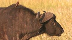 Buffalo cud 1 Stock Footage