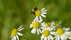 Marguerite flowers in wind and bee Stock Footage