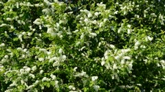 Bird cherry blossoming branches background Stock Footage