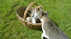 Small kitten in old basket and adult cat mother Stock Footage
