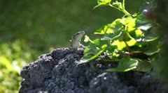 Common Lizard Stock Footage