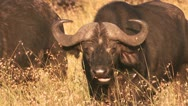 Stock Video Footage of Buffalo cud 2