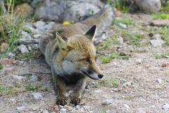 italian fox in uccellina wildlife park. grosseto, tuscany, italy - stock photo